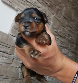 Pedigree Yorkshire Terrier Puppies For Sale !!!!