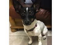 Miniature Jack Russell, female, 9 months