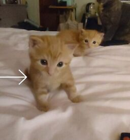 Gorgeous Male Ginger Kitten for Sale