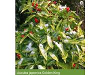 JAPONICA golden King Shrub shrubs plant plants garden flowers