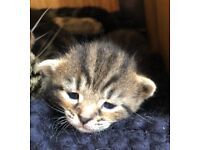 Kittens Chausie+ Marble Bengal tabby mix