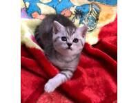British Shorthair Beautiful Kittens