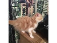 Pale Ginger Female Kitten