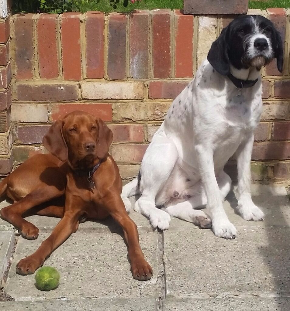 German Wirehaired Pointer X Hungarian Vizsla Pups In Hornchurch