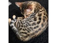Pure Bengal Female Kitten Cat With Rosette Pattern Looking For A New Home - 16 weeks old