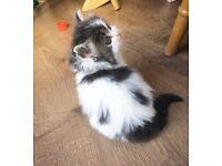 Last kitten! Persian x Ragdoll - RESERVE NOW, ready to go in few days