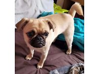 i have a beautiful 3/4 pugalier forsale shes 9 months old and she is micro chipped and all injection