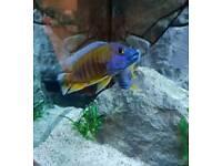 Malawi cichlid group