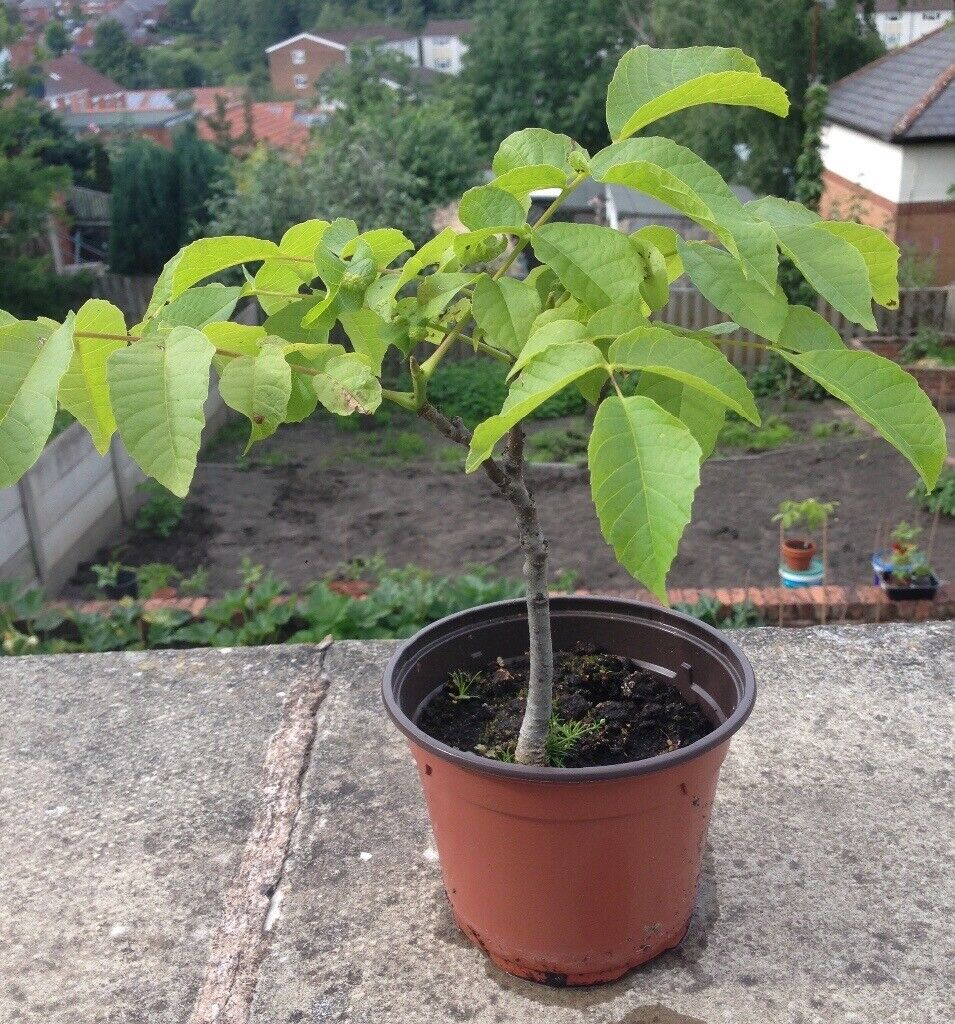 ENGLISH WALNUT TREES FOR SALE | in Chesterfield, Derbyshire | Gumtree