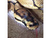 Spider royal python with vivarium