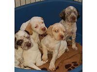 Braques du Bourbonnais puppies