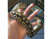 Female Mojave Royal Python