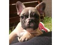 French bulldog pup READY NOW OR nearest offer