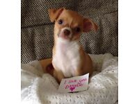 3 beautiful, confident smoothcoat chihuahua girls £600 READY NOW