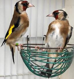 Selling my birds