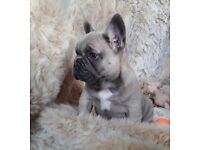 Blue French Bulldog In Scotland Dogs Puppies For Sale Gumtree