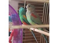 2 Mulga Parrots (Male & Female) & New Cage if wanted.