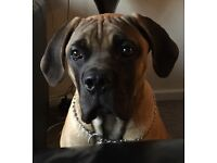 South African Boerboel Mastiff 6 months old needs new home