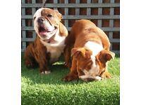 Gorgeous bulldog babies available