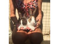 Beautiful Dutch Rabbits