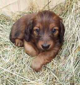Simply Beautiful Dachshund puppies.