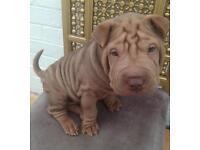 Last remaining horse coat lilac boy shar pei puppy
