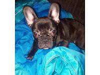 Lovely French Bulldog Female!!!
