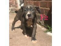 Beautiful American xl bully puppies females blue