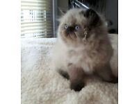 Persian Himalayan Colourpoint Kittens For Sale!