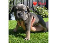 French Bulldog Puppies - Stunning Litter of 7