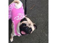 Amazing pug puppies Amazing pedigrees kc registered £1200