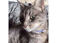 Missing cat grey green eyes, no collar female. Thornhill or woolston area.