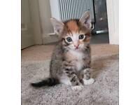 Kitten for sale - boy