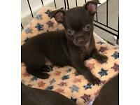 Amazing chihuahua puppy girl