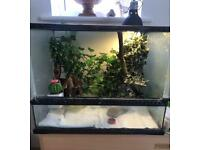 Crested Gecko with Enclosure