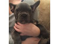 QUALITY KC REG FRENCH BULLDOG PUPPIES FOR SALE