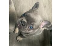 A stunning example of KC registered french bulldog litter