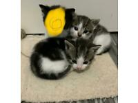Kittens mix breed with delivery