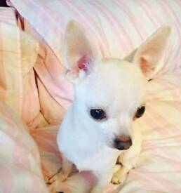 Stunning male Chihuahua for sale