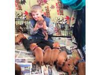 Outstanding litter of kc reg dogue de Bordeaux puppies