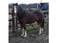 13.1hh bay gelding for sale. 14 years old