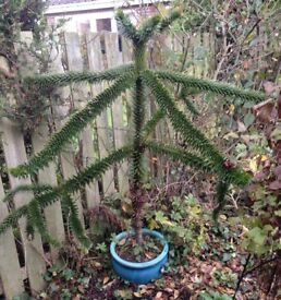 Monkeypuzzle tree in container