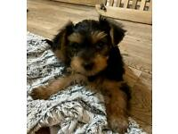 (READY TO LEAVE NOW) Full Pedigree Yorkshire Terrier Puppies