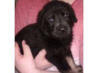 Gorgeous Labrador cross German Shepherd puppies - age 8 weeks