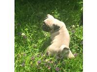 Six Beautiful Pug Puppies