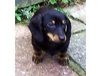 Fantastic Miniature Dachshund Boy Puppy