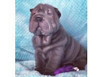 Blue Male Shar Pei Puppy 8 weeks old KC reg