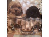 Quality cavapoo puppies !! Ready now !!
