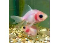 Gorgeous Ghost Fantail Goldfish for sale.