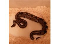2 royal pythons for sale